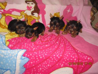 YORKSHIRE TERRIER MINIATURAS LINDISSIMOS
