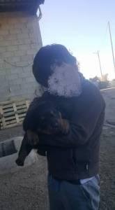 Cachorros Rottweiler para venda