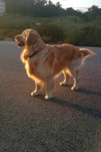 Procuro NAmorada Golden Retriever