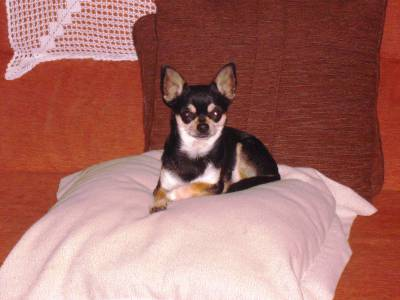 Chihuahua tricolor