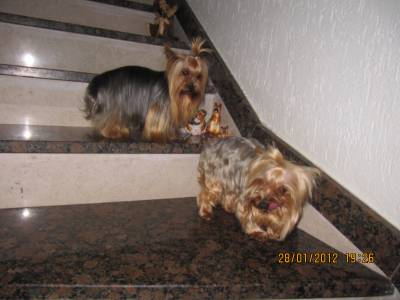 YORKSHIRE TERRIER MINIATURAS