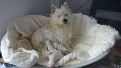 Ninhada de West Highland White Terrier - Westie