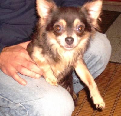 Chihuahua azul com pelo comprido