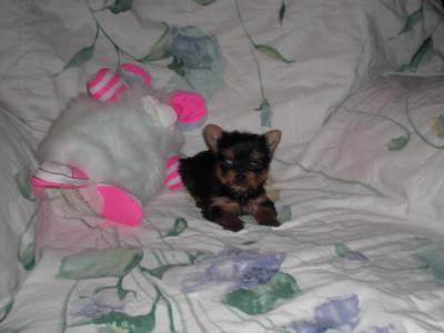 Yorkshire Terrier Miniaturas Pequeninos