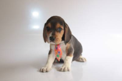 BEAGLE CANIL ESPECIALIZADO