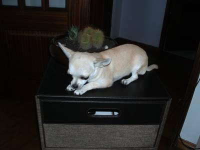 Chihuahua procura namorado