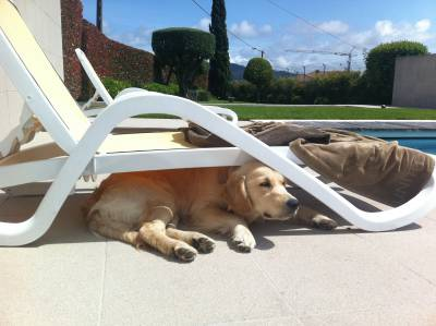 procuro cadela golden retriever