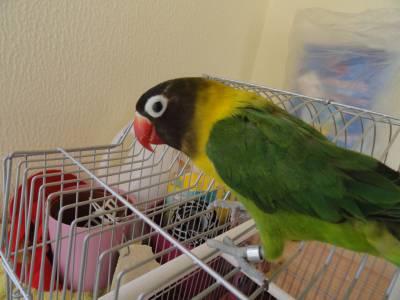 Perdeu-se Agaporni - papagaiozinho verde - Faro