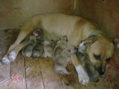Ninhada American Staffordshire Terrier