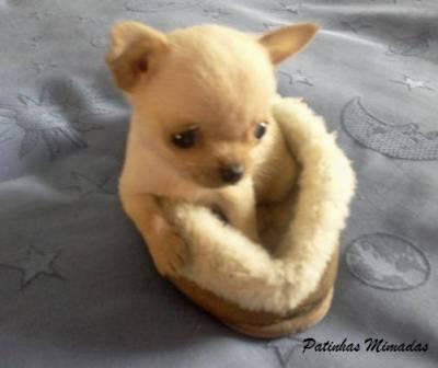 Patinhas Chihuahua o cão de bolso