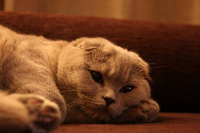 Gata Scottish Fold procura Gato Scottish Straight