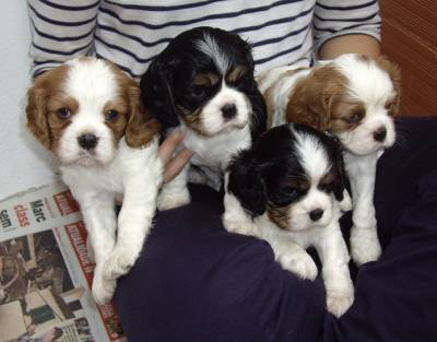 Pedigree Cavalier King Charles puppies