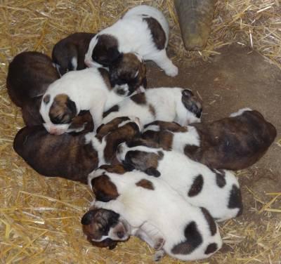 Rafeiro alentejano - cadelas femeas