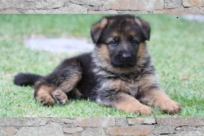 Guia de Raças no Mãe de Cachorro: Labrador