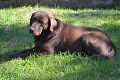 labradores retriever - chocolate