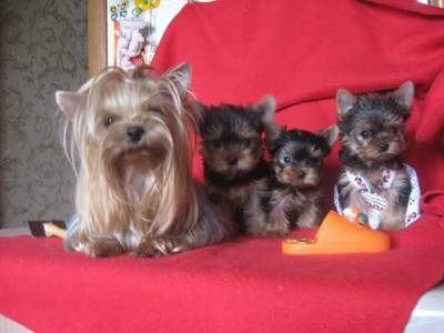 VENDE YORKSHIRE TERRIER MINI