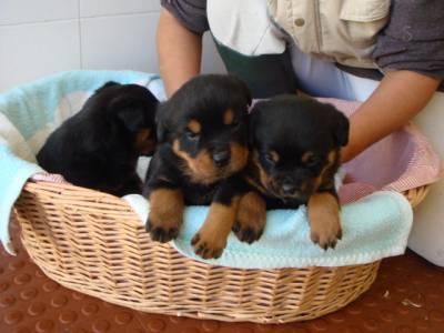 Ninhada de Rottweilers disponível