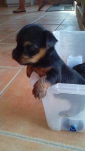 Vendo cachorros de Yorkshire Terrier