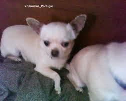 Troco chihuahua Femea por Buldogue frances