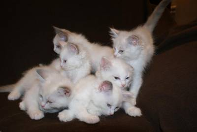 Gatos de Raça Ragdoll