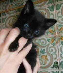 Gatinhos pretos para adopção