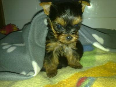 Lindo cachorrinho yorkshire terrier