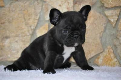 Bulldog Frances compro façam propostas