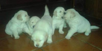 Golden Retriever Registo de LOP