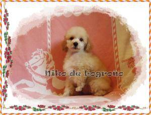 ^^^^CANICHES TOY Y MINI TOY, GRISES, BLANCOS, NEGROS Y APRICOT^^^^