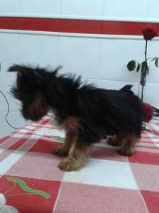 Vende-se Yorkshire terrier macho