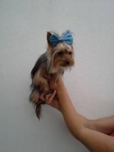 yorkshire terrier para acasalar