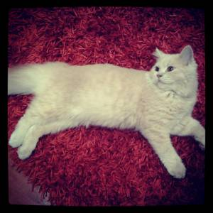 Procuro gata British short ou longhair