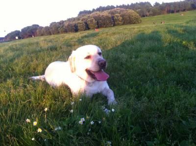 Labrador Bege com LOP