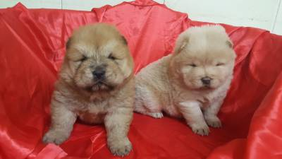 CHOW CHOW LINDISSIMOS