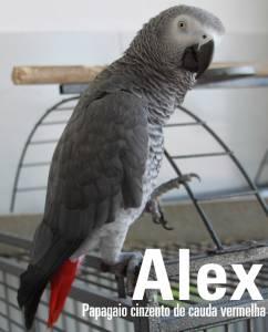 Papagaio Cinzento de Cauda Vermelha em Albufeira