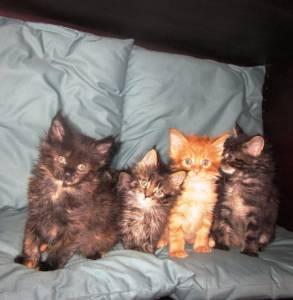 vendo gatinhos Maine Coon