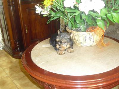YORKSHIRES TERRIER MACHOS MINI COM LOP