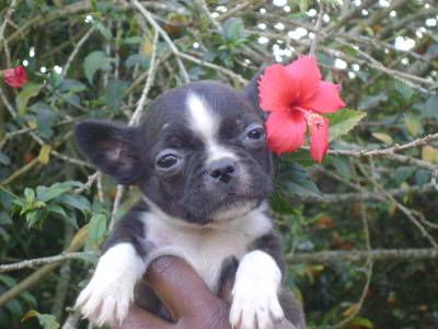 BOSTON TERRIER UM ADORAVEL SALTITANTE
