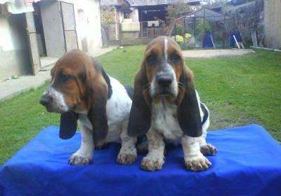 baset hound  cachorrinhos disponiveis