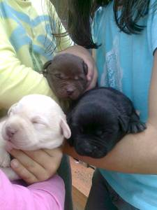 Retriever do labradores puros
