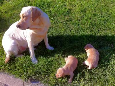Labradores para venda