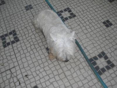 WEST HIGHLAND TERRIER MACHO PARA ACASALAMENTO
