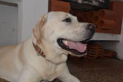 Procuro fêmea para o meu Labrador