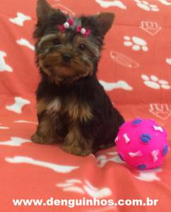 Filhote de Yorkshire Terrier a venda SP
