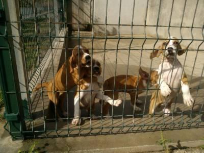 Cachorros Perdigueiro Português para venda