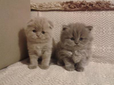 Gatinhos Scottish Fold e British Shorthair