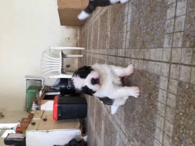 Cachorros cão São Bernardo disponiveis