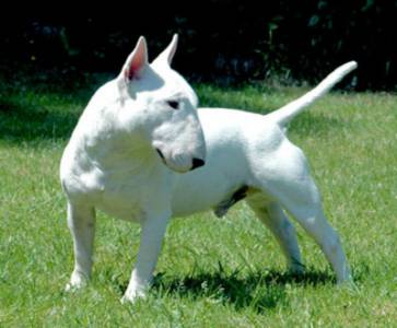 ---- BULL TERRIER ----