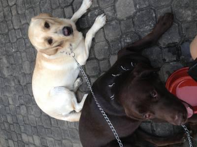 Doação de Labrador Retrivier Chocolate e bege