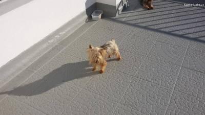 yorkshire terrier para cruzamentos